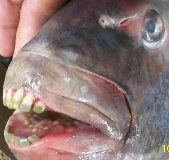 وحشت مردم از این ماهی با دندانهایی شبیه انسان!!