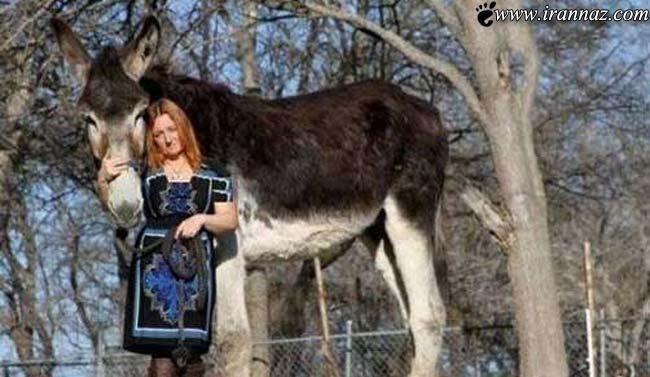 این خانم تگزاسی صاحب بزرگترین  خر دنیااست!!