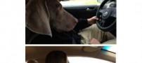 قضاوت جالب رانندگی زن و مرد توسط یک سگ (تصویر)