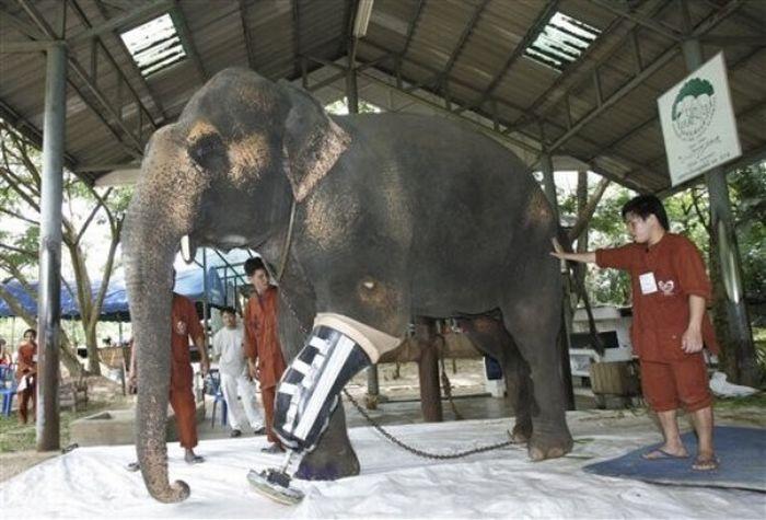 عکسهایی از فیلی با پای مصنوعی در تایلند