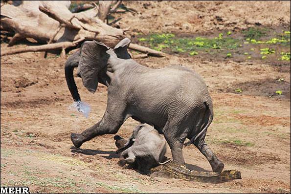تصاویر عجیب حمله یک کروکودیل به دو فیل
