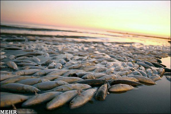 گزارش تصویری از مرگ میلیونها ماهی در سواحل بندر عباس