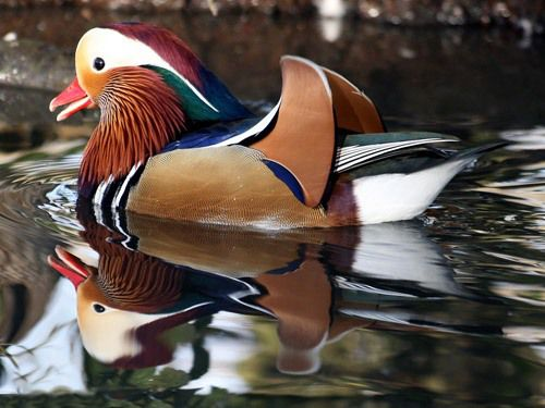 عکس هایی از زیباترین مرغابی جهان