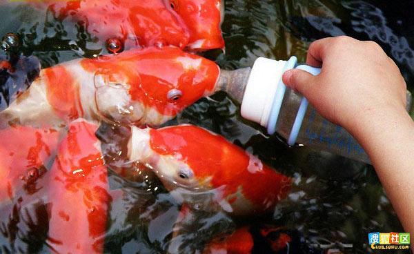 ماهی هایی که با پستونک شیر می خورند!!