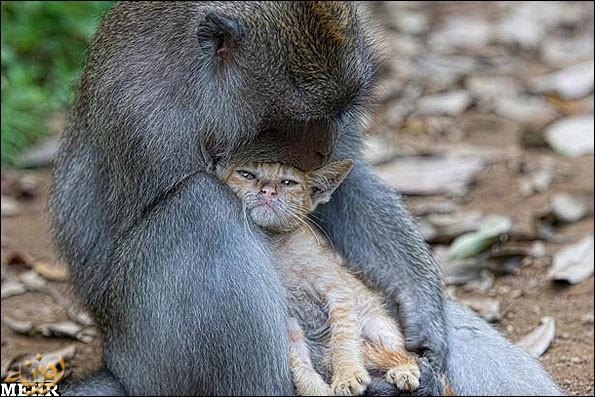 میمون هایی که مادر بچه میمون نیستند !!!