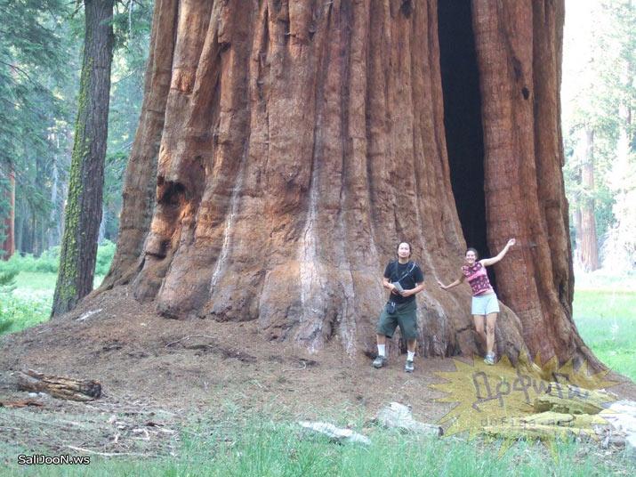 عکسهایی از بزرگترین درختان دنیا