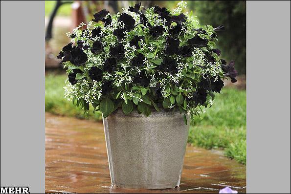 تصاویر اولین گل اطلسی سیاه دنیا