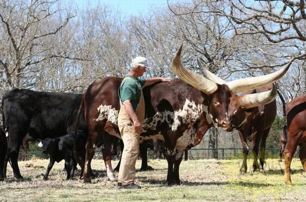 عکس هایی حیرت آور از گاو های آفریقا