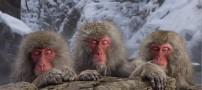 عکس هایی بسیار جالب از جکوزی مخصوص میمون ها