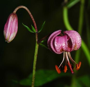 عكسهای بسیار زیبای گل لیلیوم